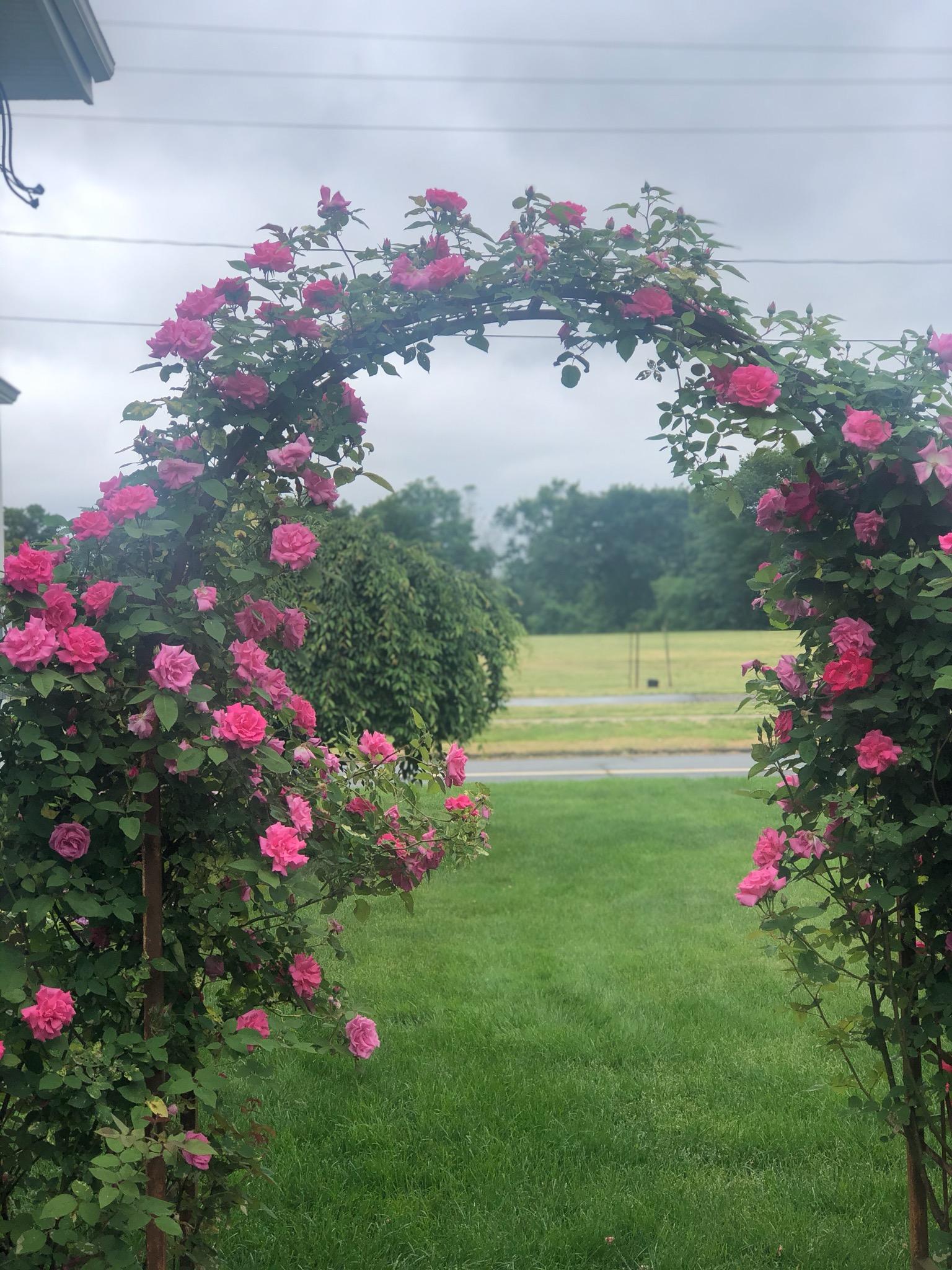 roses in my yard
